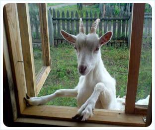 Коза лезет в окно