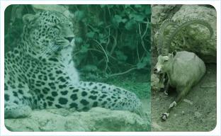 Леопард и Коза
